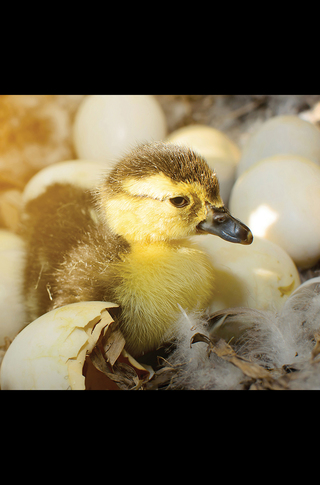 Small_320_6_baby_animals_ducklings_5c09688900ff485a6a000001